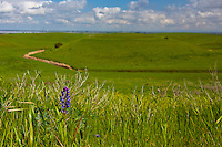 """A lupine blooms above the grasses as if to say, """"Spring is almost here."""""""