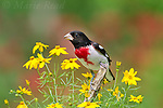 Rose-breasted Grosbeak (Pheucticus ludovicianus) male, perched amid Threadleaf Coreopsis flowers in summer, New York, USA (Slight digital retouch - plumage cleanup)