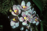 Sarcochilus hartmannii Orchid Species