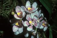 Sarcochilus hartmannii Orchid Species