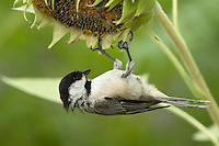 Black-capped Chickadee.<br /> A bird almost universally considered &quot;cute&quot; thanks to its oversized round head, tiny body, and curiosity about everything, including humans.