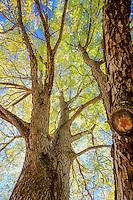 Gymnocladus dioicus, Kentucky Coffeetree; Arnold Arboretum
