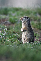 Uinta Ground Squirrel standing