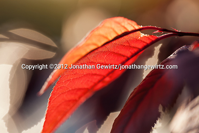 Backlit red tree leaves.