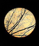 Branches from a tree is silhouetted in the light of a full moon as seen at Tule Lake, California.