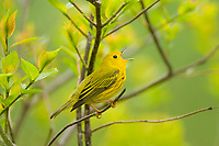 Male Yellow Warbler (Dendroica petechia) singing in spring.
