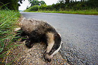 Dead badger, roadkill, Sussex, England