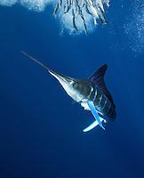 striped marlin photos