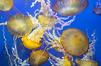 435250005 pacific sea nettle chrysaora fuscescens swim and float in their aquarium at the long beach aquarium in long beach california
