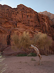 A tree growing in the desert of Wadi Rum