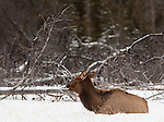 One elk appears to talk to another while she sits in a snowfield near the edge of a forest in Banff National Park, Alberta, Canada.
