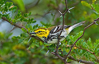 591400019 a wild female or juvenile male black-throated green warbler setophaga virens - was dendroica virens perches in a small mesquite bush on south padre island texas