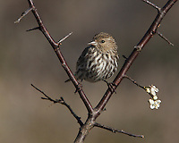 """Pine Siskins get through cold nights by ramping up their metabolic rates—typically 40% higher than a """"normal"""" songbird of their size. Perched on an American Plum Tree in February."""