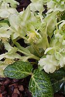 Helleborus lividus 'White Marble' hellebore