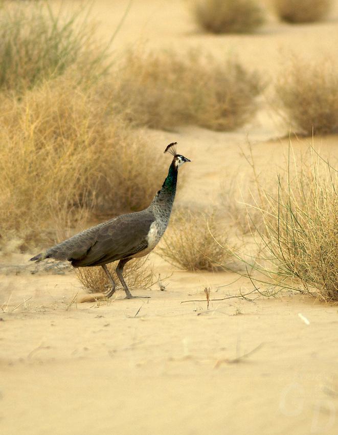 The gallery for --> Thar Desert Animals