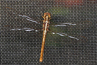 Newly emerged Varigated Meadowhawk in 'Gridlock'.