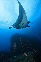 QT2313-D. Manta Ray (Manta birostris). Baja, Mexico, Pacific Ocean.<br /> Photo Copyright &copy; Brandon Cole. All rights reserved worldwide.  www.brandoncole.com