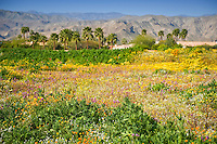 Desert wildflowers in foreground with back drop of mountains and palm trees
