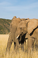 Elephants interacting