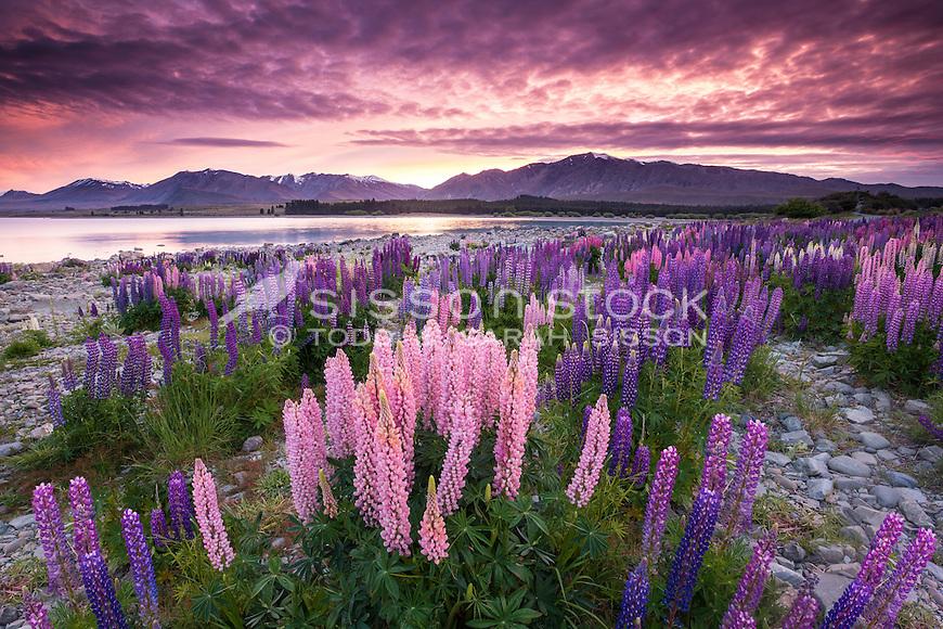 Lake Tekapo Lupins, Sunrise, Mackenzie Country, New Zealand - stock photo, canvas, fine art print