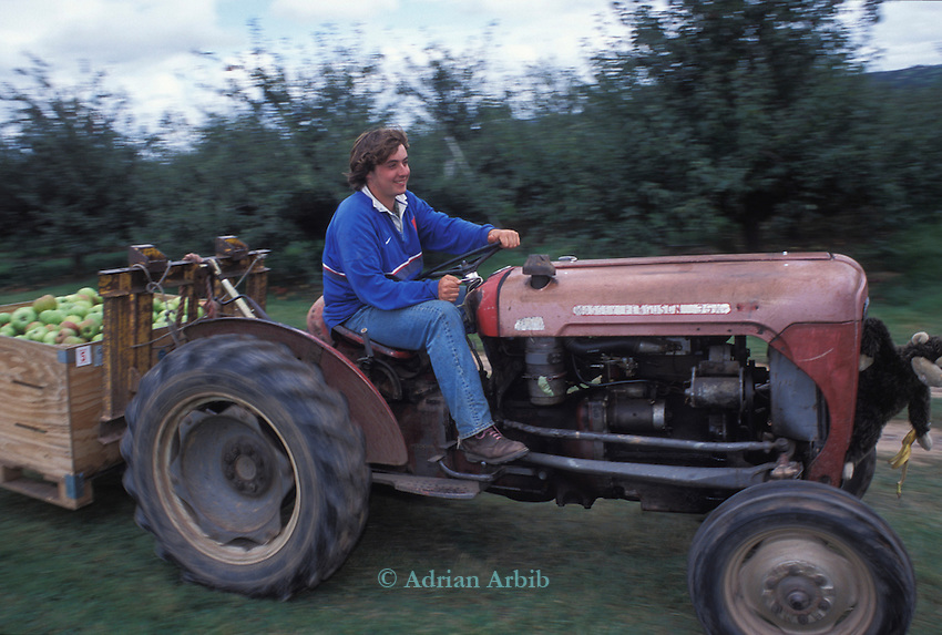 A tractor moving  apples from the orchard to store during the apple picking season - Charlton Orchards. Near Taunton , Somerset.    They're growing about 25 varieties of English apple: one of the last diverse commercial orchards left in Britain.