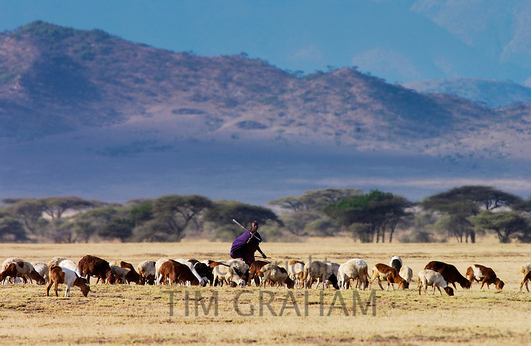 Young Masai Warrior (moran) with his flock, Serengei Plains, Tanzania. MEDIA RESERVED USE - NOT FOR DOWNLOAD -  FOR USE CONTACT TIM GRAHAM