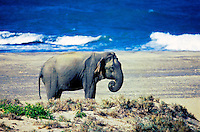 Elephant on beach at Yala.