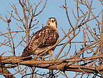 A Western Red-Tailed hawk near Lake Nokomis searches the landscape for prey