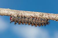 Buck Moth (Hemileuca maia) caterpillar, High Point State Park, Sussex County, New Jersey.