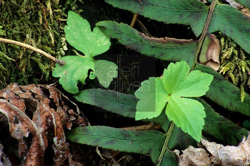 Forest floor flora near Gatlinburg, Tennessee, 1993