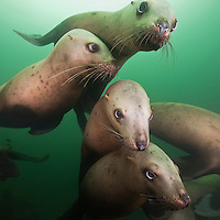 TA0978-Ds. Steller Sea Lions (Eumetopias jubatus), gregarious juveniles swimming together near rookery. British Columbia, Canada, Pacific Ocean. Cropped to square from native horizontal format.<br /> Photo Copyright &copy; Brandon Cole. All rights reserved worldwide.  www.brandoncole.com