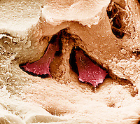 Two osteoclasts within the Howship's lacuna of cancellous or spongy bone.  SEM X5625  **On Page Credit Required**