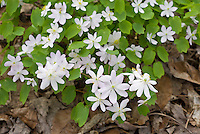 Thalictrum thalictroides (Rue-anemone) aka Anemonella thalictroides semi-double white