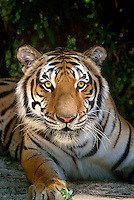 684089356 a wildlife rescue siberian tiger panthera tigris altaicia an endangered species poses among thick foliage at a wildlife rescue facility in southern california