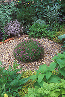 Thyme mound central focal point in herb garden of mixed plants