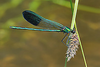 345920006 a wild male river jewelwing calopteryx aequabilis perches on a plant stem over a small river in modoc county california