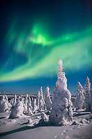 Aurora borealis over a snow loaded boreal forest of Spruce trees, interior, Alaska.