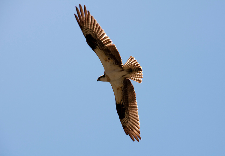 California: Osprey along Klamath River in California.  Photo copyright Lee Foster california116732.