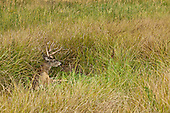 Mule-deer get their name from their mule-sized ears.