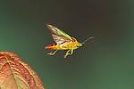 Hawthorn Shield Bug, Acanthosma haemorrhoidale, In flight, free flying, High Speed Photographic Technique.United Kingdom....