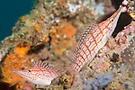 Anilao, Philippines; a pair of Longnose Hawkfish (Oxycirrhites typus) constantly change position as they perch on the coral reef