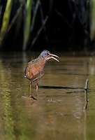 575100015 a wild adult virginia rail railus limicola calls in a shallow pond near the pacific ocean in ventura county california united states