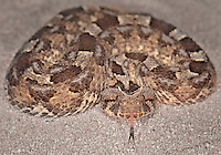 Horned Adder (Bitis caudalis), captive.