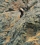 Siberian Ibex, Altai Mountains, Mongolia