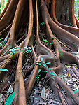 Strangler Fig Roots, Tropical Rainforest