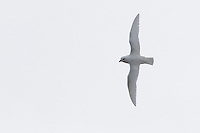 Snow Petrel in flight, Cape Crozier, Antarctica.