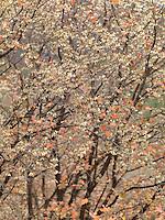 Mountain Maples I