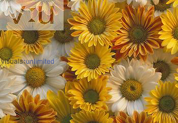 Mixed colors of Daisies.
