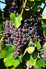 Red grapes on the vines in the vineyards of Hajos (Hajós) Hungary