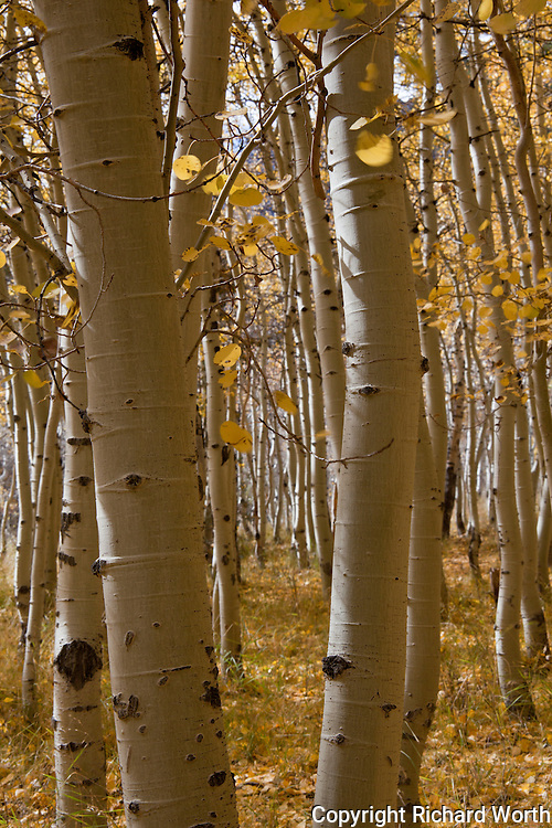 Black-punctuated white trunks - unmistakable aspen, decked out in fall's gold.  Lundy Lake, Sierra Nevada.